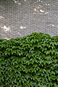 Facade greenery with woodbine, Parthenocissus tricuspidata - AXF000727