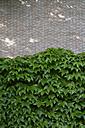 Facade greenery with woodbine, Parthenocissus tricuspidata - AXF000727