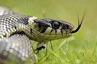 Portrait of darting grass snake, Natrix natrix - MJOF000743