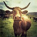 Cow on pasture - LVF001921