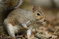 Portrait of Grey squirrel, Sciurus carolinensis - MJOF000751