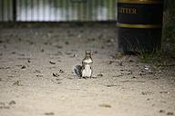 Grey squirrel, Sciurus carolinensis - MJOF000752