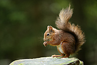 Eurasian red squirrel, Sciurus vulgaris - MJOF000764