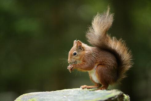 Eurasian red squirrel, Sciurus vulgaris - MJOF000764