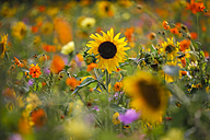 Summer meadow with sunflowers - JTF000575