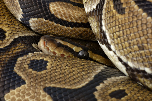 Royal Python, Python regius, partial view - MJOF000779