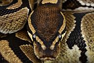 Royal Python, Python regius, partial view - MJO000780