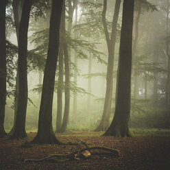 Beech forest at misty summer morning - DWI000211