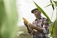 Portrait of farmer controlling corn cob in a maizefield - UUF002018