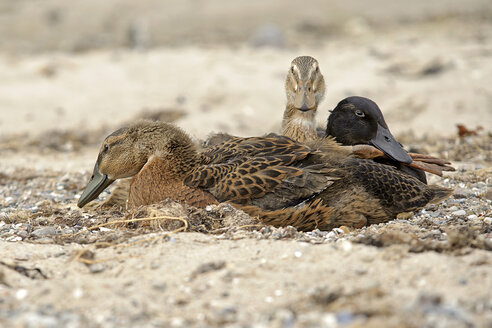 Germany, Schleswig-Holstein, three mallards, Anas platyrhynchos, lying on sandy beach - HACF000180