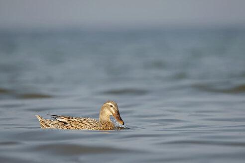Germany, Schleswig-Holstein, swimming mallard, Anas platyrhynchos - HACF000174