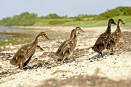 Germany, Schleswig-Holstein, six young mallards, Anas platyrhynchos, walking on sandy beach - HACF000177