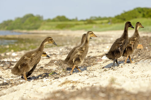 Germany, Schleswig-Holstein, six young mallards, Anas platyrhynchos, walking on sandy beach - HACF000177
