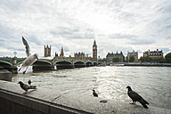 United Kingdom, England, London, River Thames, Big Ben and Palace of Westminster, birds in the foreground - PAF000992