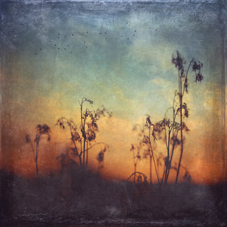 Germany, Silhouette of dried grasses at sunset - DWI000235