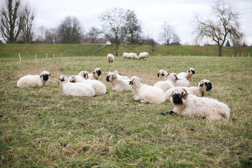 Germany, Baden-Wuerttemberg, Ilvesheim, Valais Blacknose, flock of sheep - DWF000189
