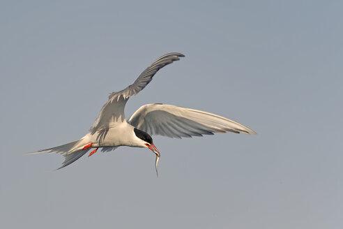 Germany, Schleswig-Holstein, flying tern, Sternidae, with prey - HACF000181