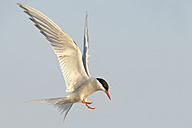 Germany, Schleswig-Holstein, flying tern, Sternidae, in front of blue sky - HACF000184