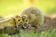 Germany, Schleswig-Holstein, three foraging baby canada gooses, Branta canadensis - HACF000194