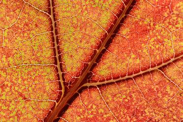 Part of red orange maple leaf - MJOF000796