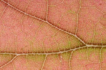 Part of maple leaf - MJOF000798