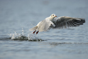 Germany, Schleswig-Holstein, seagull, Laridae, taking off water surface - HACF000197