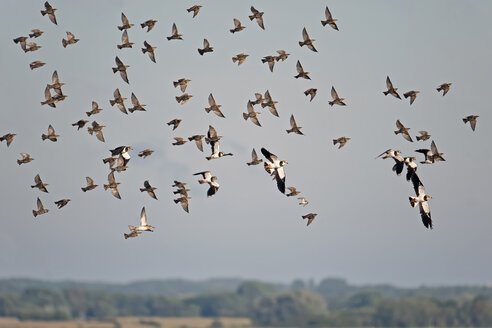 Germany, Schleswig-Holstein, flock of flying lapwings, Vanellus vanellus, and starlings, Sturnus vulgaris - HACF000209