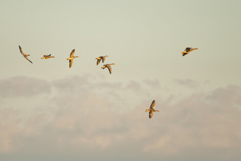 Germany, Schleswig-Holstein, seven flying grey gooses, Anser Anser, at twilight - HACF000204
