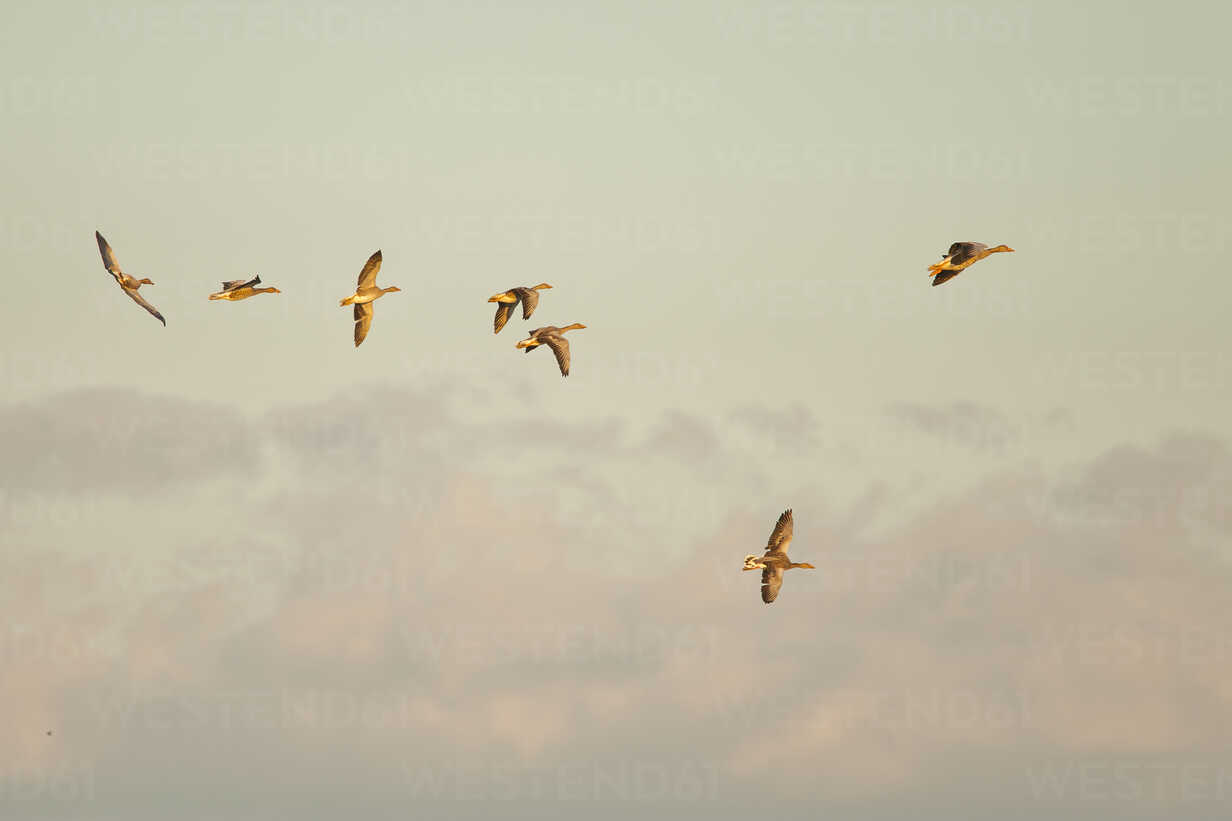 Germany, Schleswig-Holstein, seven flying grey gooses, Anser Anser, at twilight - HACF000204 - Hans Clausen/Westend61