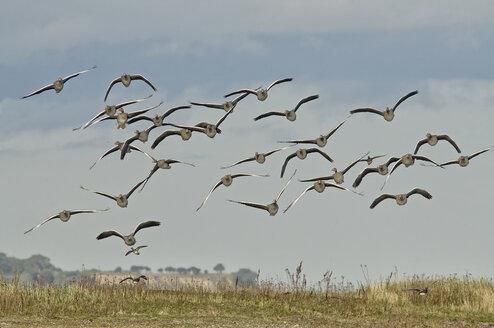 Germany, Schleswig-Holstein, flock of flying grey gooses, Anser Anser - HACF000206