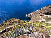 Spain, Canary Islands, La Palma, Tijarafe, Canary Island Spurge growing at rocky coast - AMF002902
