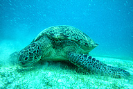 Malaysia, South China Sea, Green sea turtle on seabed - DSGF000300