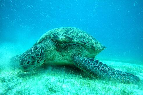Malaysia, South China Sea, Green sea turtle on seabed - DSGF000300