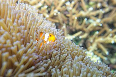 Malaysia, South China Sea, Clown anemonefish - DSGF000309