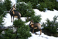 Spain, Ordesa National Park, chamois - DSGF000396
