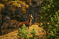 Spain, Ordesa National Park, chamois - DSGF000468