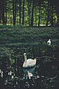 Germany, Saxony, Moritzburg, Swans on lake - MJF001358
