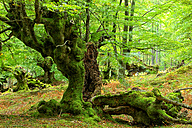 Spain, Gorbea Natural Park, Beech forest - DSGF000599