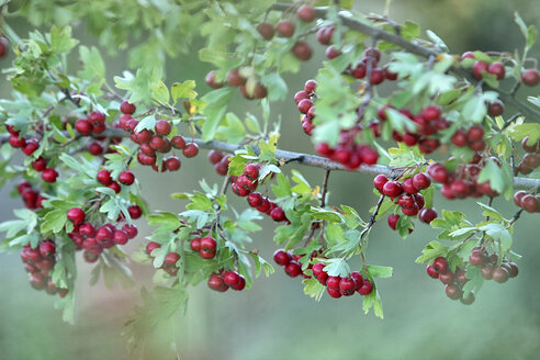 Close up of red hawthorn berries, Crataegus monogyma - DSGF000651