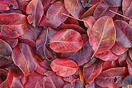 Red pear leaves - DSGF000636