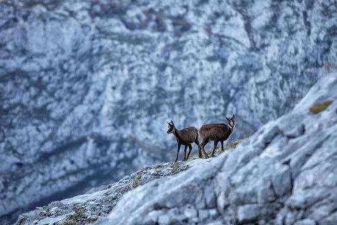 Spain, Cantabria, Cantabrian chamois, Rupicapra pyrenaica parva, in mountains - DSGF000504