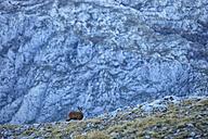 Spain, Cantabria, Cantabrian chamois, Rupicapra pyrenaica parva, in mountains - DSGF000509