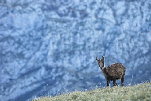 Spain, Cantabria, Cantabrian chamois, Rupicapra pyrenaica parva, in mountains - DSGF000521
