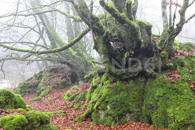 Spain, Urbasa-Andia Natural Park, Moss grown trees - DSGF000678