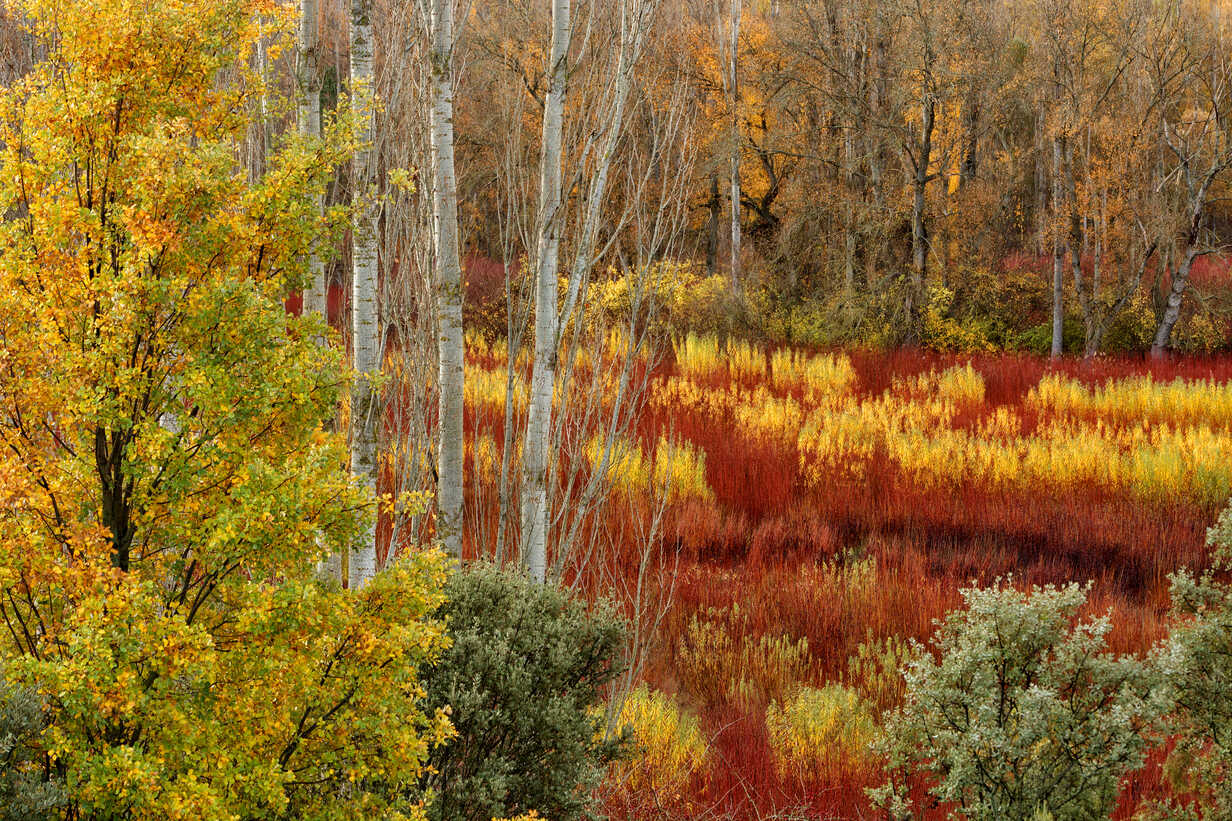 Spain, Cuenca, Wicker cultivation in Canamares in autumn - DSGF000613 - David Santiago Garcia/Westend61