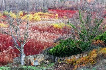Spain, Cuenca, Wicker cultivation in Canamares in autumn - DSGF000616