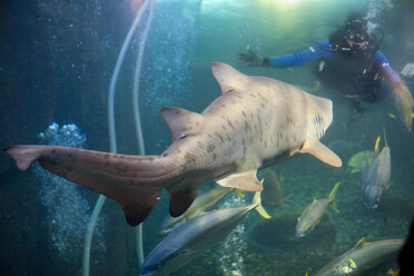 Shark and diver face to face in an aquarium - ZEF001257