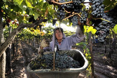 Argentina, Mendoza Province, Maipu, harvest of grape variety Syrah - FLK000501