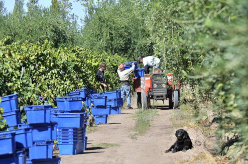 Argentina, Mendoza Province, Maipu, harvest of grape variety Syrah - FLK000504