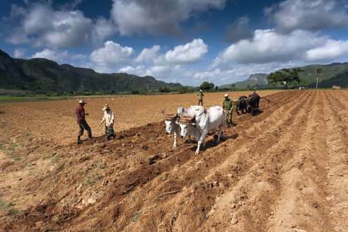 Cuba, Pinar del Rio, Vinales Valley, men ploughing with cattle - NN000039